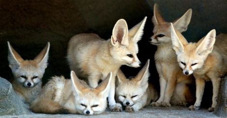 Fennec Fox...This is one of the smallest fox species ...