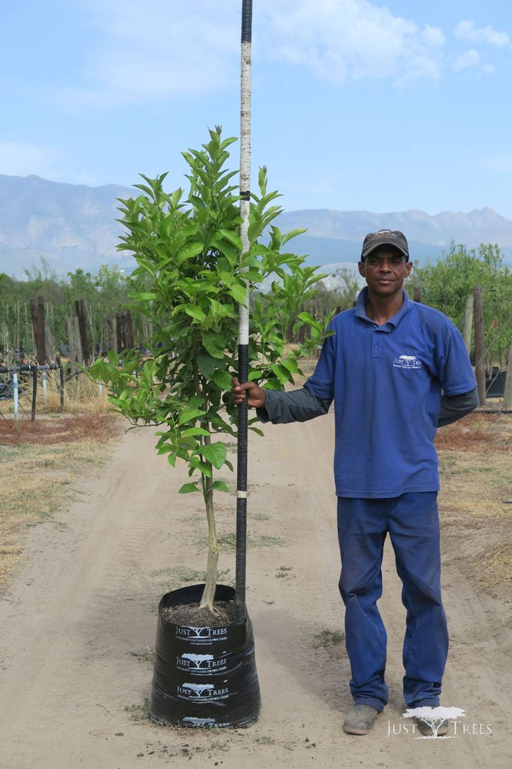 40L Citrus limon (Lisbon Lemon). A hardy evergreen that stands heat the very well. Under proper care, the Lisbon Lemon can grow up to 10m. Its attractive fruit makes it a popular feature tree.