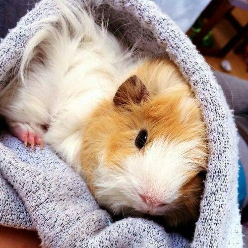 Another cute guinea pig.