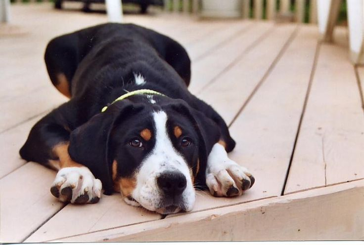 Swiss Mountain dog.....yup.....I'm a little obsessed :-))