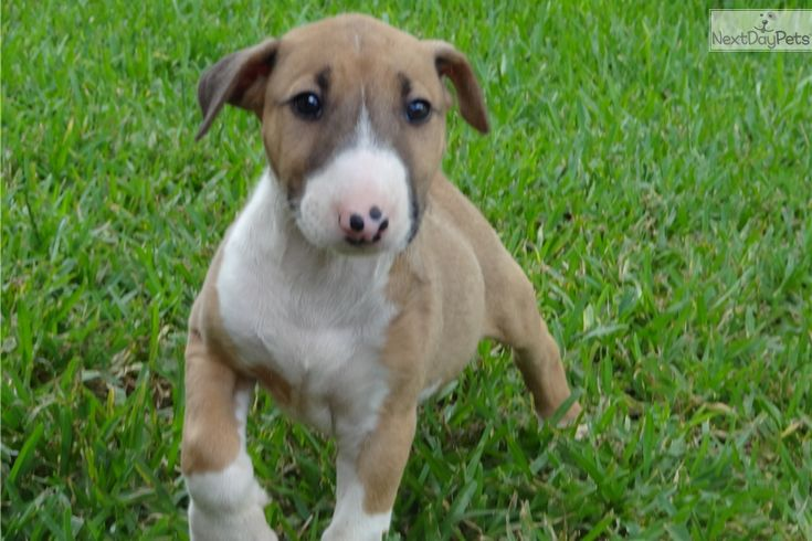 Ginger bull terrier puppy for sale near houston texas