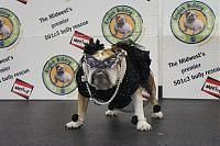 Chicago English Bulldog Rescue (CEBR) had a Meetup Event in Chicago today called Red Carpet Romp. It was suppose to have featured a fashion and style contest for the most handsome starlet and most dapper hunk. I think once everyone saw our girls in their LariP Design dresses, that they called off the contest. I mean who could actually compete with them anyway (LOL)!!!!! Here are some pictures: