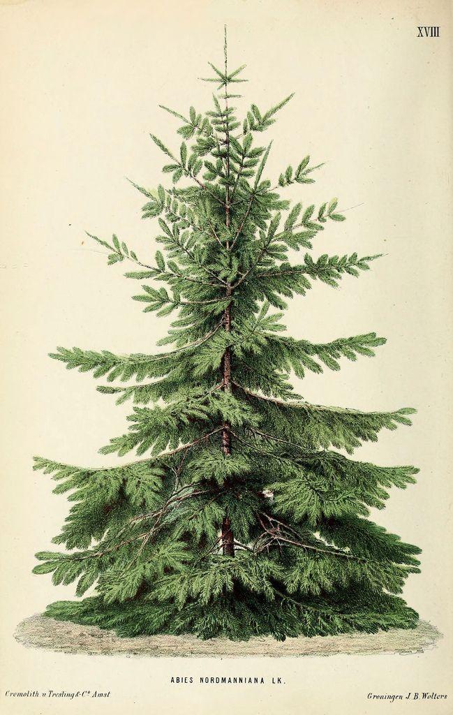 Abies Nordmanniana Christmas Tree