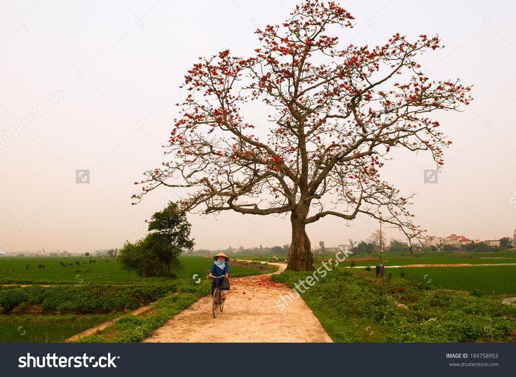 Hanoi, Vietnam - March 30: Unidentified Woman Ride Bicycle Near Bombax Ceiba…