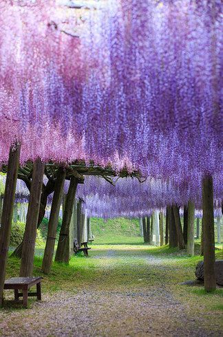 Wisteria Tunnel, Japan. 26 Real Places That Look Like They've Been Taken Out Of Fairy Tales