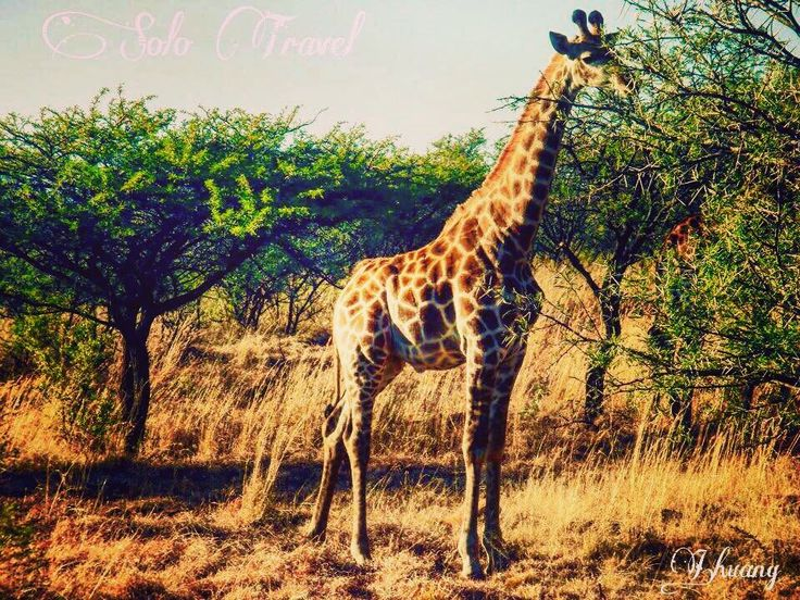 Feeling lethargic?  #throwback #travelgram #travellife #traveldiaries #travelphotography #southafrica #wow_africa #giraffe #lovewildlife #naturelovers #NeverStopExploring #wei_to_next #visitafrica #memories #nambithi #spioenkop #gamereserve #solotravel #backpacking #girlonthemove #sonyonly #NeverStopExploring #wanderlust #globelletravels by the_wei_