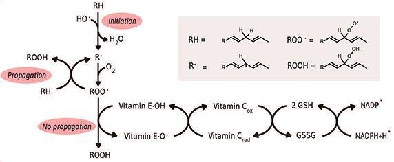 Antioxidative activity of Tocopherol.