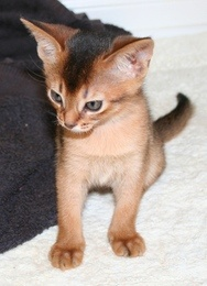 Healthy Abyssinian kittens for sale! Check out this link for details http://www.junkmail.co.za/v-johannesburg-pets-for-sale-cats-cuddly-eautiful-and-healthy-abyssinian-kittens-QZQYCatQX0083QYRgnQX0001QYAdQXF49833QYEdQX201216 Also check out this link for more cats http://www.junkmail.co.za/c-johannesburg-pets-for-sale-cats-QZQYCatQX0083QYRgnQX0001 #Cats #Kittens
