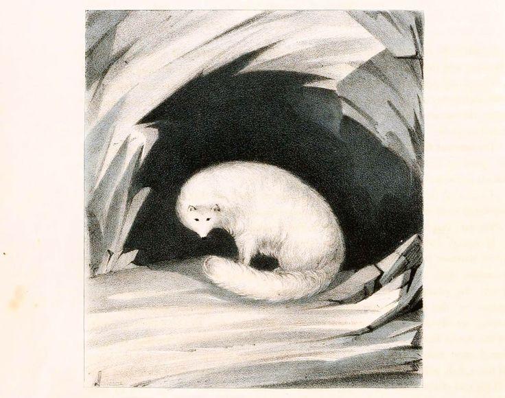 Piesiec (lis polarny) /arctic fox, Canis lagopus/ (Ross 1835)