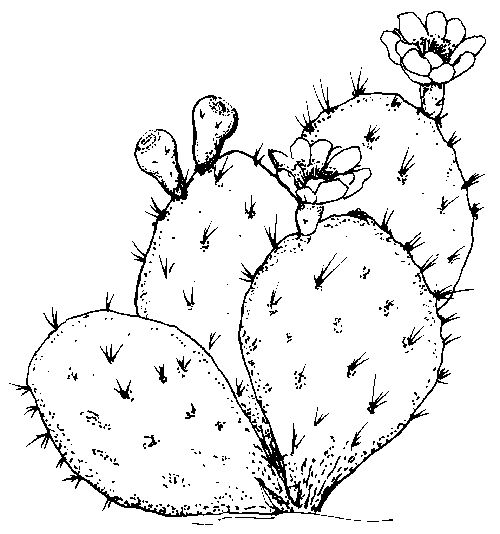 Cactus Flower Line Drawing : Texas symbols for students social studies pinterest