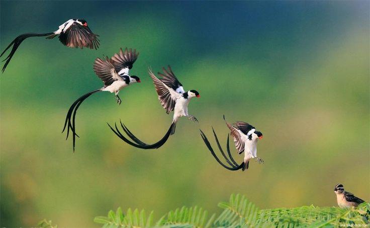 """Momento exacto (num conjunto de instantes) da """"aterragem"""" desta ave no seu ninho – é uma espécie exótica, residente na África Subsaariana com o curioso nome de Viúva de Cauda Comprida (podem chegar a 35 cm de comprimento)."""