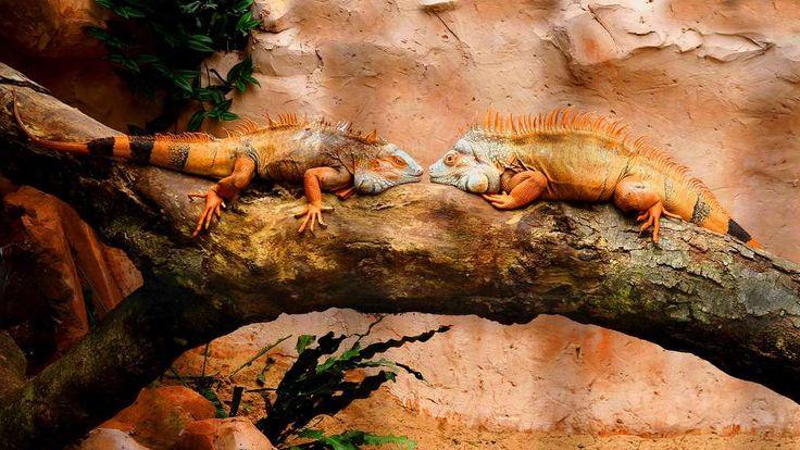 L'iguane vert, un dragon miniature