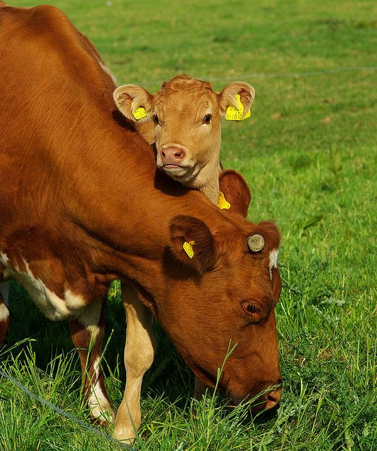 Adorable Photos of Cows and Their Calves That Will Warm Your Heart With Happiness