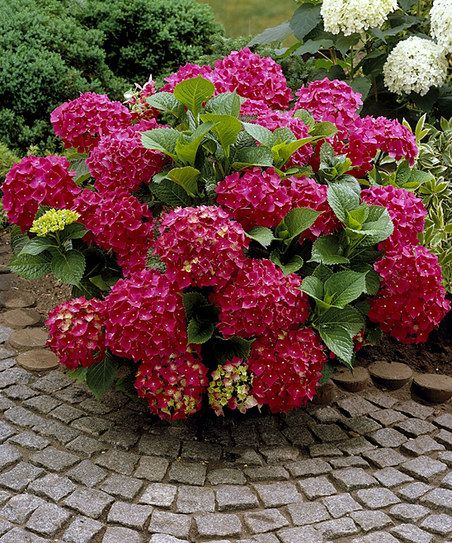 Live 'Red Sensation' Hydrangea - Set of Two