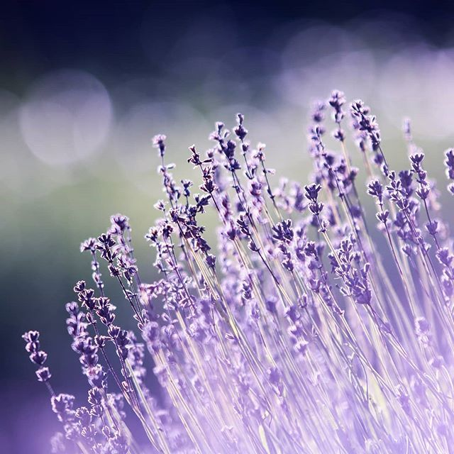Lavender is versatile and healing. . . It reminds me to be the same. . . To choose to release chronic fatigue to eat & feel in a way that helps to keep my hormones and body in great shape. . . To bloom no matter the conditions. . . I appreciate the photographer who took time to photograph and post this lovely reminder. . . I appreciate and am grateful for life even the things I dislike....