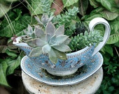 Succulents Planted in a White and Baby Blue Asian Style Gravy Boat