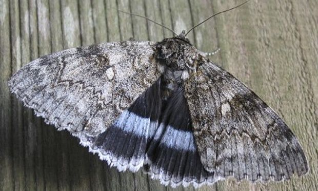 Clifden Nonpareil moth