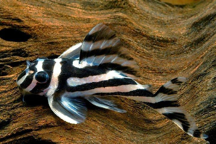 The gallery for --> Zebra Knifefish