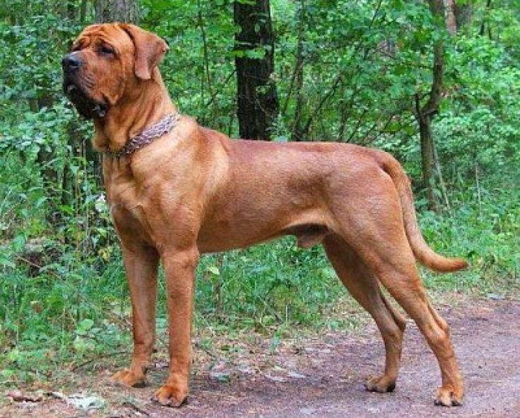 Tosa Inu, japones, es una de las razas favoritas de  los amantes de los perros grandes.