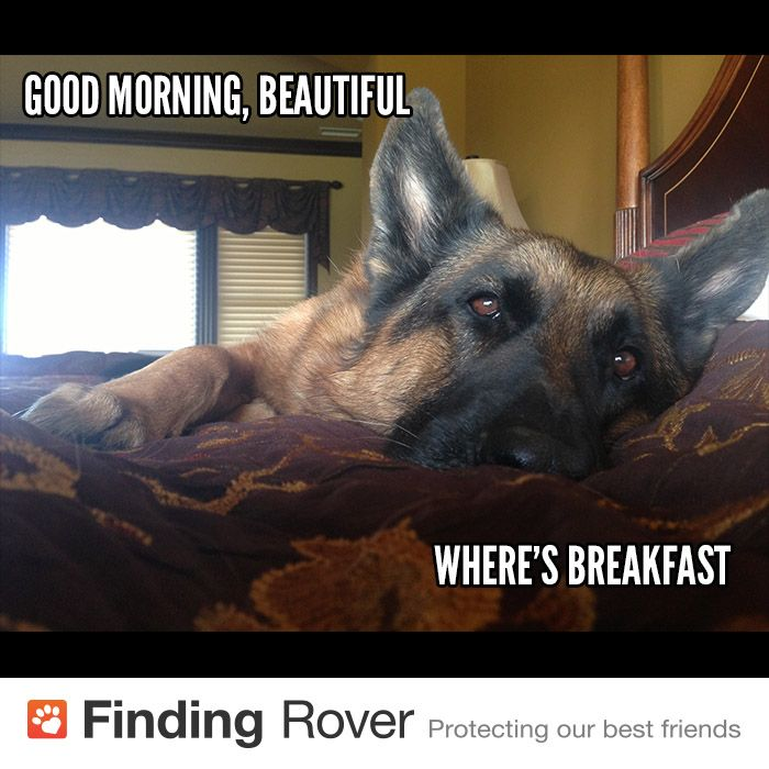 Good Morning Lady German : Images about german shepherds i miss my lobo on