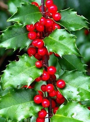 Ideas for shady garden - Holly (Ilex aquifolium) Also variagata 20mx6m