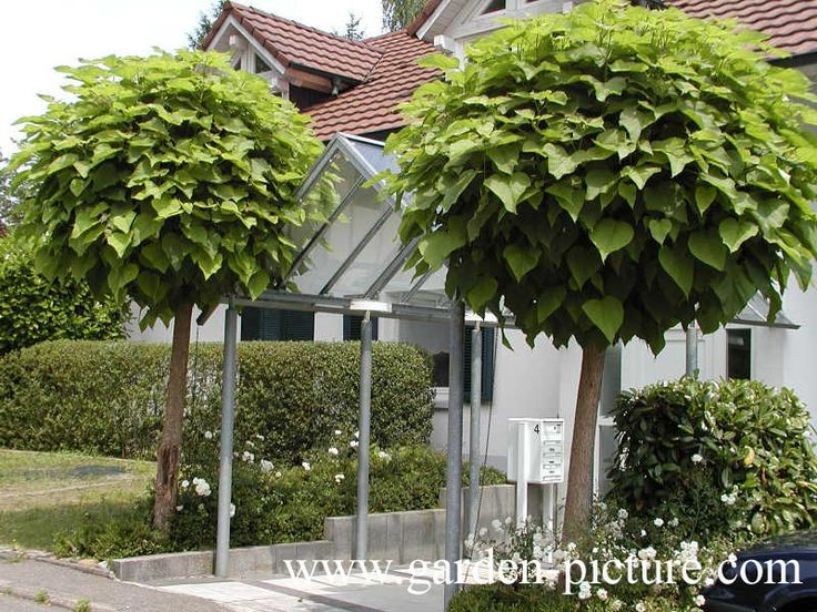 Designer Mop Tops or Catalpa Nana is one of the most beautiful symmetrical compact trees you will ever see. Small deciduous tree with large round leaves.
