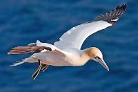 Alcatraz. Ave marina. Blanco, con una franja negra en el extremo de las alas.