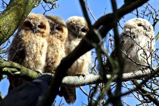 Vier jonge uilen in de namiddagzon