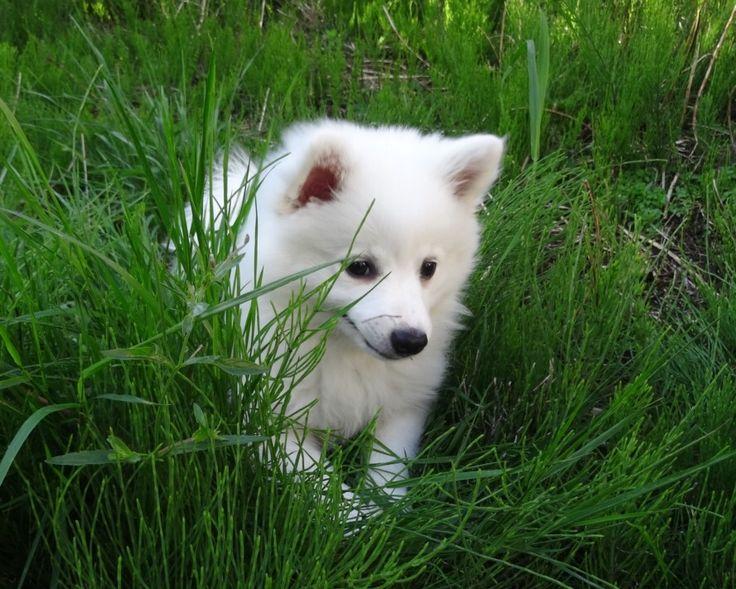 Mara our german spitz girl ❤️   #germanspitz #spitz #puppy #cute #dog #spitz…