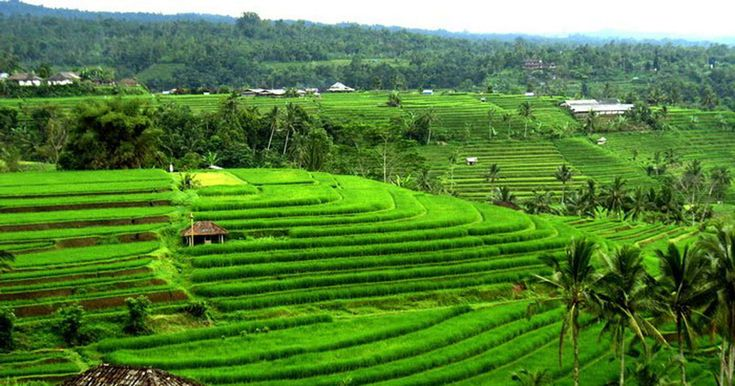 Bali Jatiluwih Tour is one of the best tour packagesto see the amazing view of Jatiluwih Rice Terrace and visit other tourist destination in Bali. #jatiluwihtour #balijatiluwihtour #balijatiluwih #balitour #balitourpackage