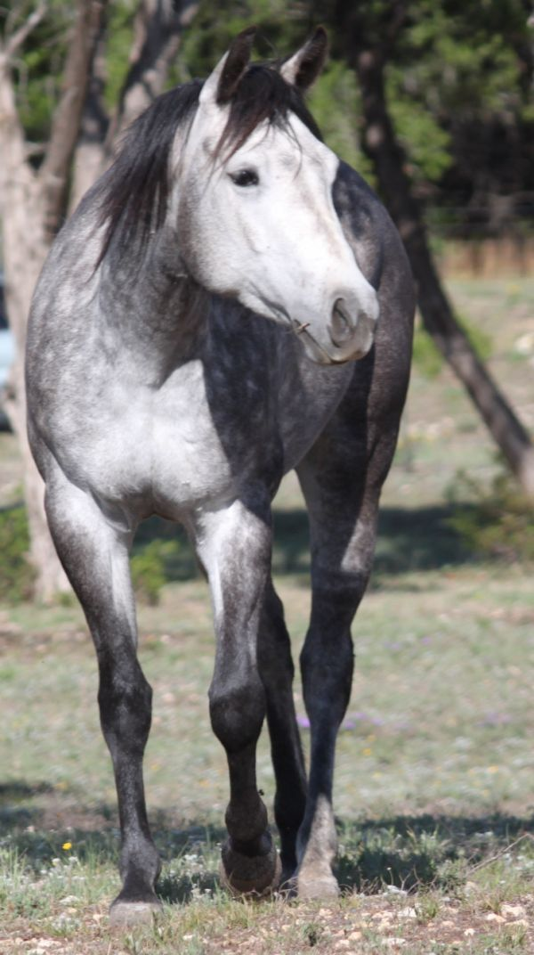 Grey Quarter Horse Filly Sa MIS Blue Tenino