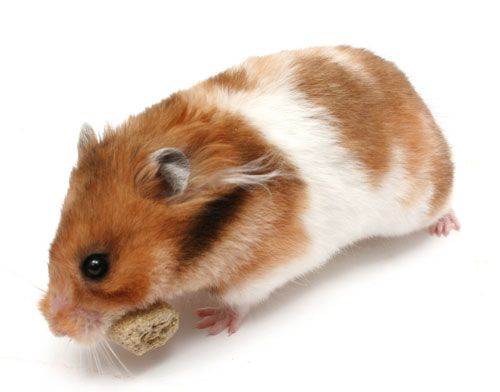 All About Syrian Hamsters Syrian hamster, Hamster breeds