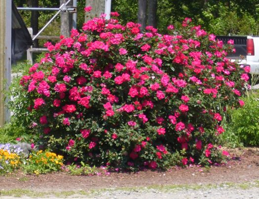 Knock Out Roses, by far the easiest roses to grow.