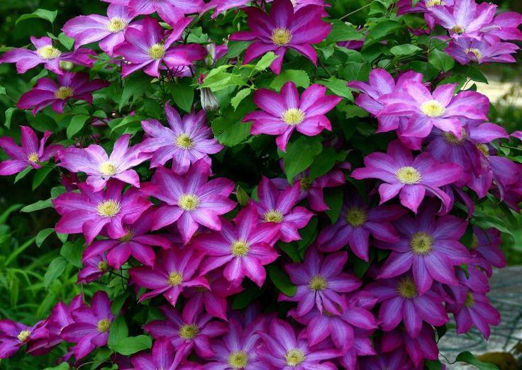 Presagios, costumbres y símbolos relacionados con clemátide. Esta hermosa flor perfumada aparece en el corazón del verano. Posee unos filamentos con plumas larg