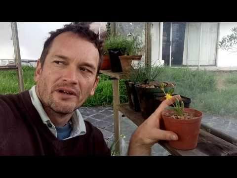 Bulbine diphylla - YouTube
