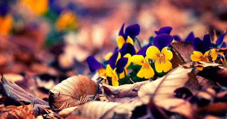 Pansies HD 100% Free Wallpaper HD | Flowers HD Wallpapers. Download stunning Huge Collections 100% Full Free HD Wallpapers for your Mobile, Tablet and Desktop !