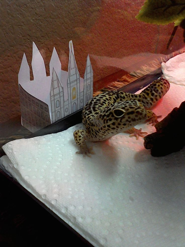 Increíble Gecko Leopardo Anatomía Colección - Anatomía de Las ...