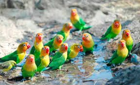 Berkicau Mania: Tips Agar Burung Lovebird Produktif Dan Cepat Bert...