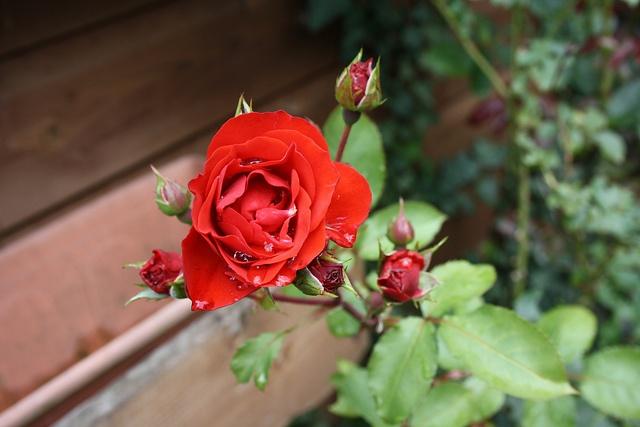 Een roos met tranen