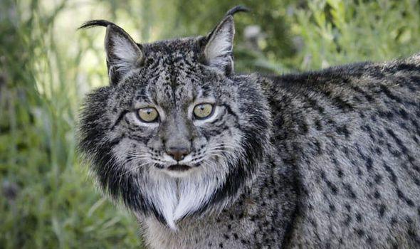 Big Cats: Magischer Moment seltener iberischer Luchs machen einen großen Sprung in Richtung Überleben.   – Animals