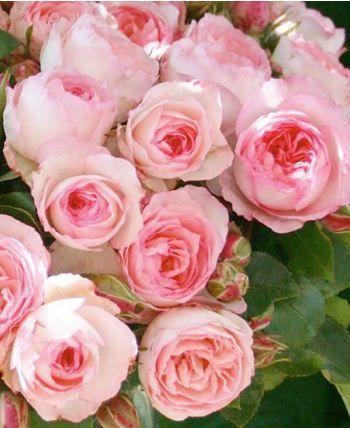 Rosa x grimpant Mini Eden Rose - Rosier - Pépinière, plantes, jardinerie, vente en ligne