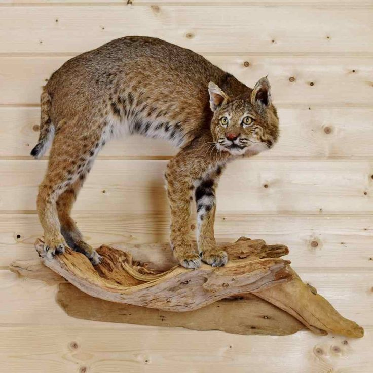 Bobcat Taxidermy Mount for Sale - SW3906