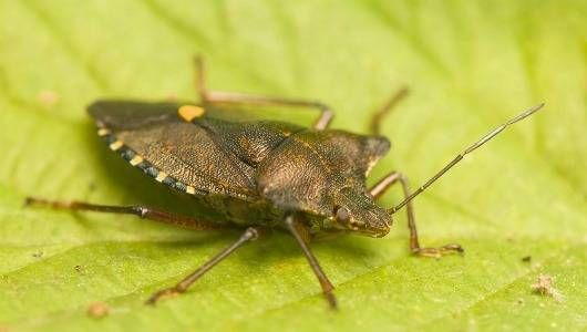 The stink bug, with its noxious smell, is a recent visitor to the U.S., but Halyomorpha halys seems to like it here. Here's how to get rid of them.