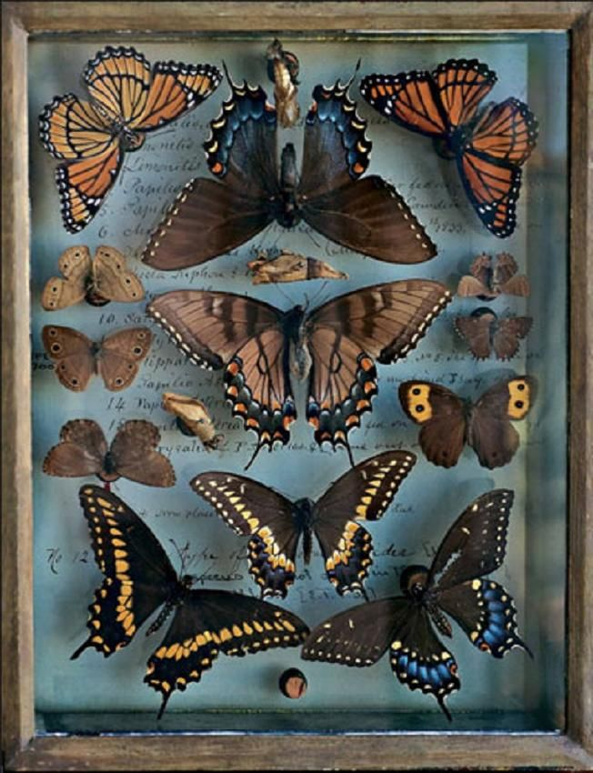 Antique butterfly & moth collection