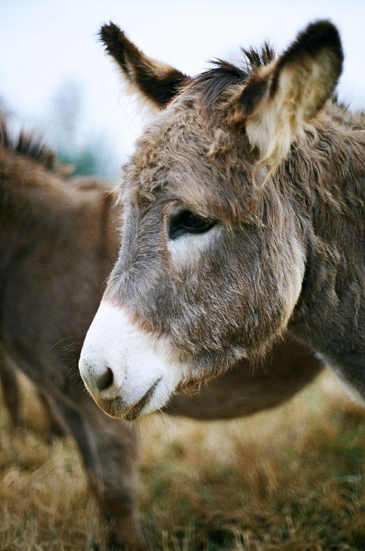 adorable donkey, Lazy 5 Ranch. 35mm, Minoltax-700