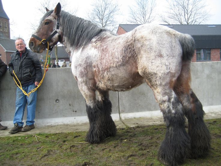 This is a Beautiful Roan Belgian Draft Horse. Can you believe the size of this thing? The average weight of this kind of horse is slightly over one ton. By comparison, the American Quarter Horse weighs about half that. I think this one probably weighs even more than that.