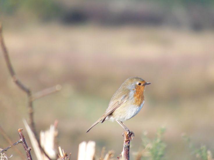 Little robin - it's feeling a lot like Christmas