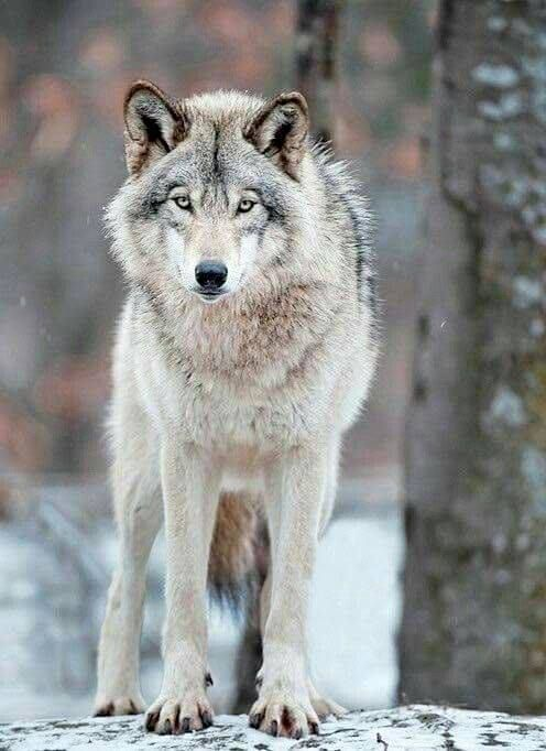 Gray Wolf | Wolf pictures, Timber wolf, Animals