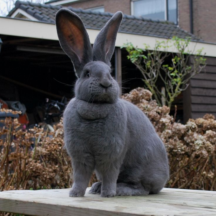 Vlaamse reus, a chill and enormous rabbit