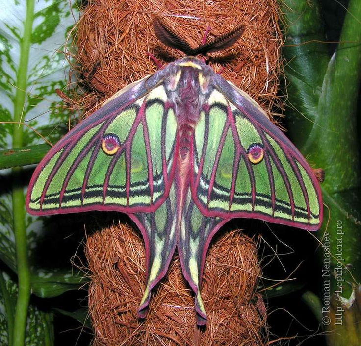 Spanish Moon Moth, found only in parts of Spain
